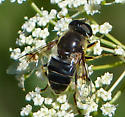 Black syrphid with smoky patches on wings - Eristalis rupium - female