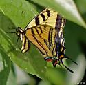 Papilio multicaudatus - Two-tailed Swallowtail - Papilio multicaudata - female