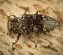 Chrysobothris sp.? - Chrysobothris