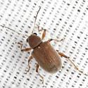 Beetle - Fidia