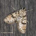 Moth on Shed Wall - Palpita magniferalis