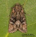 Noctuid - Lacinipolia
