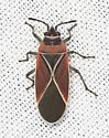 Plant Insect  - Neacoryphus bicrucis