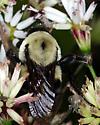One more bumblebee - Bombus griseocollis - female
