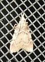 Acallis alticolalis