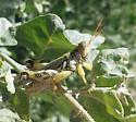 Narrow-winged Saltbush Grasshopper - Aeoloplides tenuipennis - male