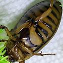 Dytiscus beetle - Dytiscus dauricus - female