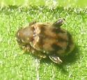 Beetle on Sycamore - Emelinus melsheimeri