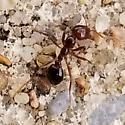Biting/Stinging Ant - Solenopsis invicta