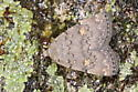 Grey moth with yellow spots - Idia