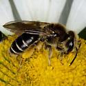 Bee IMG_0351 - Andrena wilkella