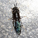 Soldier fly? - Hermetia illucens