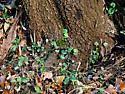 Tree With Multiple Pursewebs - Atypus snetsingeri