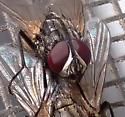 fly - Musca domestica - male - female