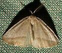 Unknown Moth - Lychnosea intermicata - male