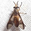 Deer Fly - Chrysops - female
