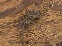 9058182 spider - Drassodes