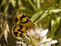 colorful moth - Drasteria adumbrata