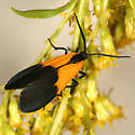 Black-and-yellow Lichen Moth - Lycomorpha pholus