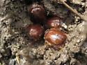 Rain Beetle? - Pleocoma simi - male