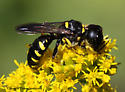 Wasp - Ectemnius maculosus
