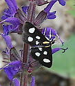 White-spotted Sable Moth - Hodges#4958a - Anania funebris