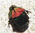 Large Beetle - Phanaeus vindex