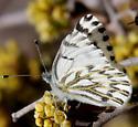 Spring White? - Pontia sisymbrii