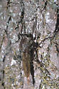 Milbert's Proctacanthus - Proctacanthus milbertii