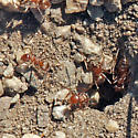ID for ants in a fire road? - Myrmecocystus