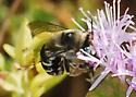Is this Anthophora californica? - Anthophora urbana