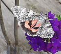 Moth? ID - Catocala semirelicta