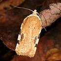 moth - Acleris cervinana