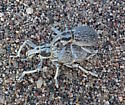 Death Valley Dune Weevils (mating pair) - Ophryastes