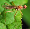 Diptera. Micropezidae.