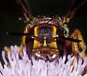 Scoliid maybe on Canadian Thistle - Cerceris bicornuta