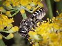 Native bee, maybe Megachile - Megachile