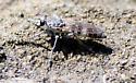 Three-banded Robber Fly - Stichopogon trifasciatus