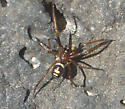 Is this an Ant Mimic spider? - Asagena - male