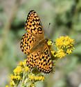 Yet another pesky western fritillary - Speyeria egleis - female