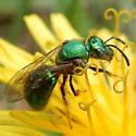 Sweat Bee - Augochlorella aurata