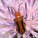 Blister Beetle - Nemognatha
