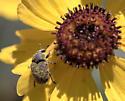 Weevil? on golden tickseed (Coreopsis tinctoria) - Larinus