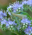 Anole, Blue Curls and ?