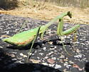 Mantis 3 - Stagmomantis limbata - female
