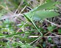 Thin green hopper - Scudderia pistillata - male