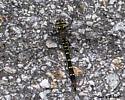 Dragonfly? - Cordulegaster maculata