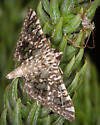 Moth + Spider - Glyphodes onychinalis
