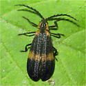 New-Winged Beetle - Calopteron
