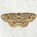 Small Engrailed Moth - Hodges #6597 - Ectropis crepuscularia - female
